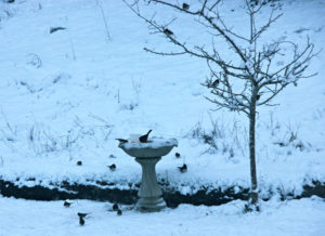 Birds-feeding-in-Snow